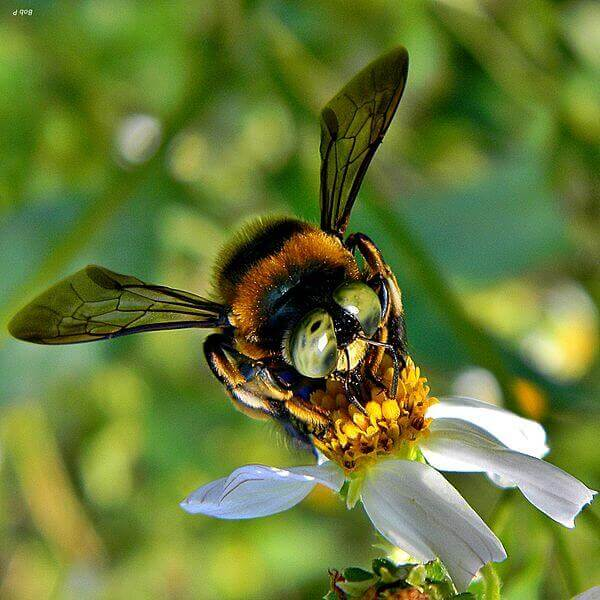 Southern_Carpenter_Bee_-_Xylocopa_micans_(13125818024).jpg