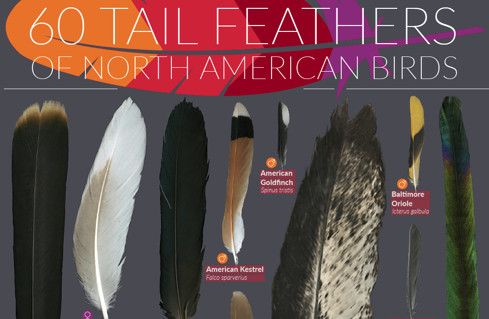 Tail-feathers-of-north-american-birdsTHUMBNAIL.png
